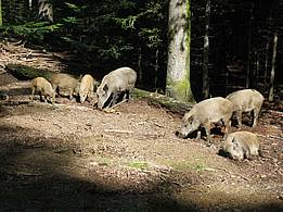 wild boar in the Bavarian Forest